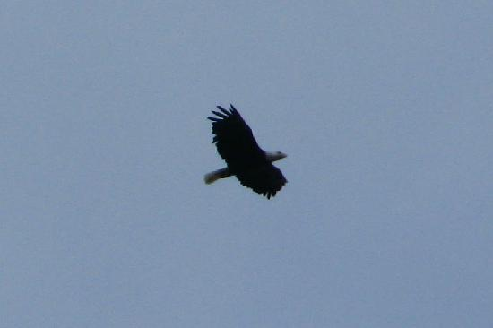 Black Bear Lodge: Eagle soaring above lodge