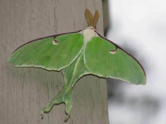 Black Bear Lodge: Moth