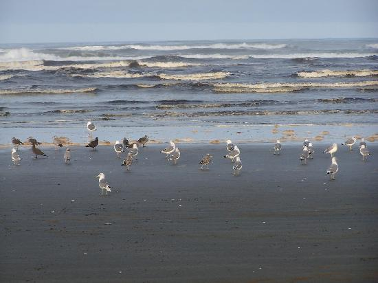 Moclips River: Seagulls by the ocean