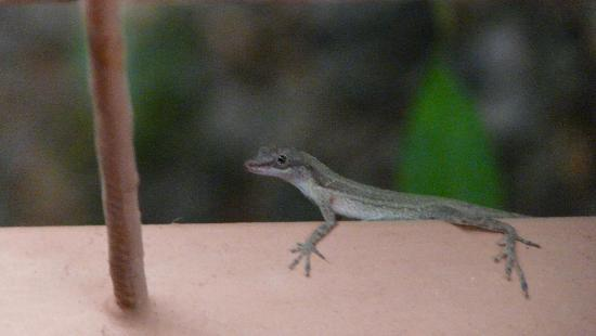 Mar y Selva Ecolodge : Lizard