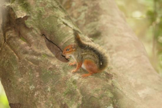 Lope Wildlife Reserve, Gabun: Fire-footed rope squirrel
