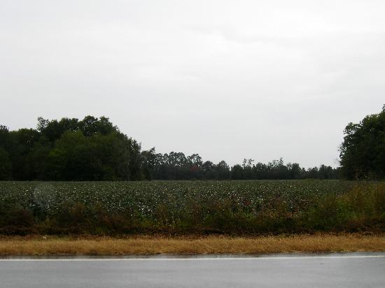 Baumwollfeld am Highway nach Jacksonville