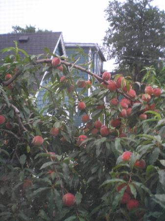 Blockhouse Hill Bed & Breakfast: Peach tree out our window