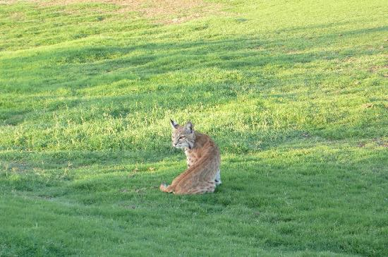 Boulders Resort & Spa, Curio Collection by Hilton: the bobcat on the golfcourse