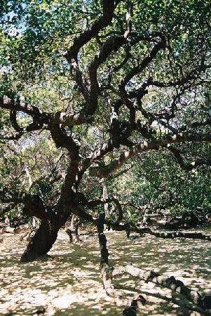 Natal, RN : World's largest cashew tree