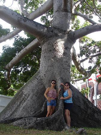 Giant Kapok Tree Picture Of Key West Florida Keys