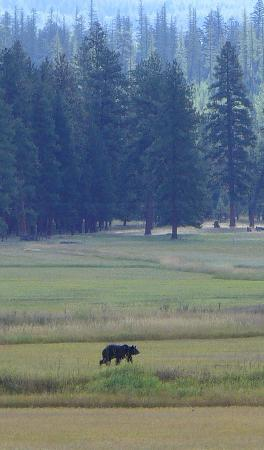 Grizzly in Seeley Lake meadow