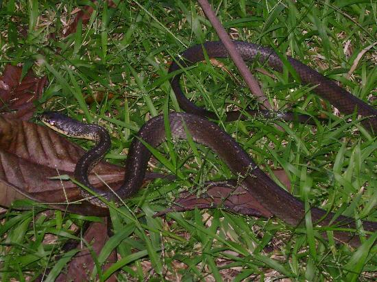 Dangriga, Belice: unidentified snake that struck at me while we were trying to photograph it.  He hit my shoe.