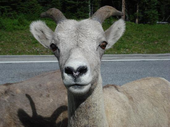 "Hidden Falls Bed and Breakfast: Rock Mtn. Sheep ""Posing"""