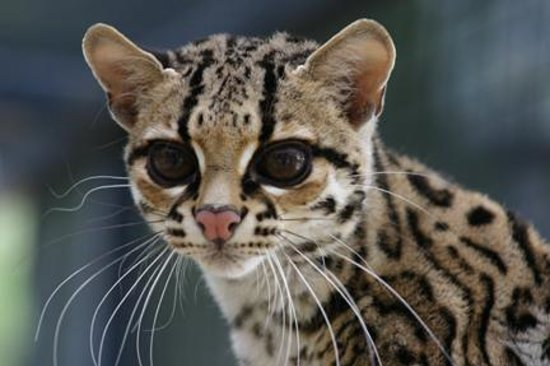 Rosamond, CA: Margay at EFBC