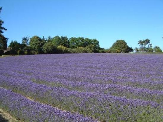 Jersey Lavender Field