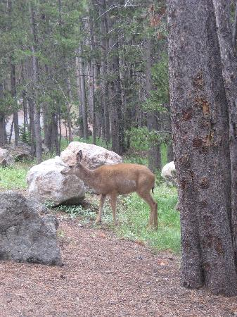 Canyon Village Campground : deer at campsite