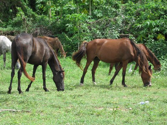 Casa de Amistad: Vieques horses (They run loose on the island, but they do have owners.)