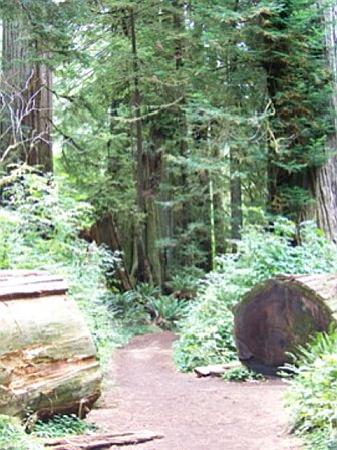 Redwood National Park: Cathedral Trees