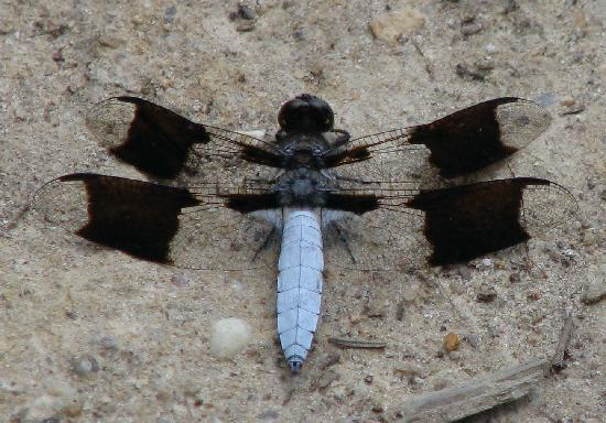 Three Lakes Nature Center and Aquarium: White Tail Dragonfly