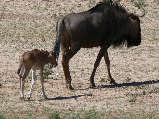 Botsuana: Kgalagadi National Park