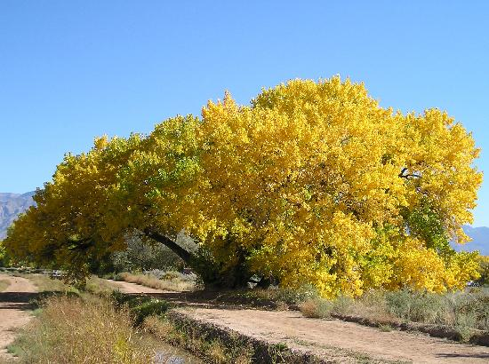 Corrales, Nuevo Mexico: Cottonwoods in the fall