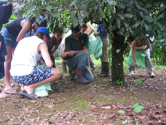La Anita Rainforest Ranch: learning how macadamia is harvested