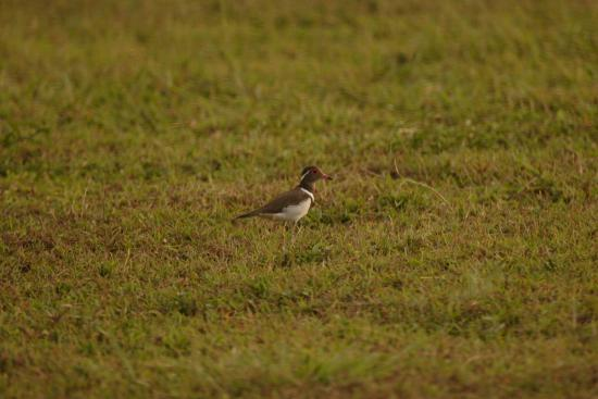 Lope Wildlife Reserve, Gabon: Forbes's plover