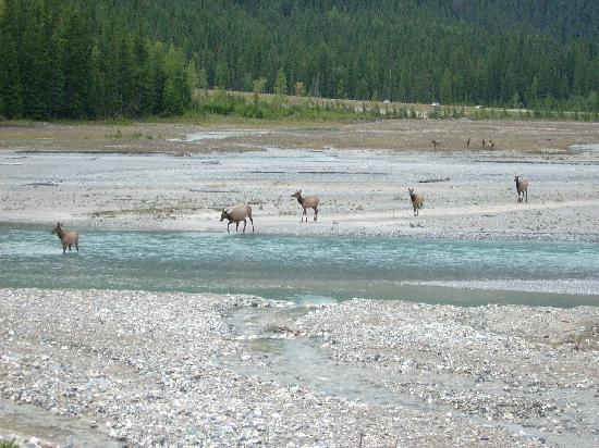 Truffle Pigs Lodge: Elk crossing the kicking horse river