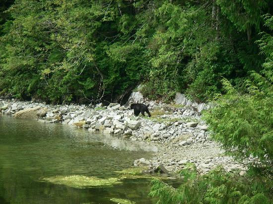 Eagle Nook Resort : Black Bear at low tide