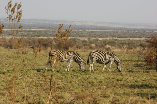‪‪Pilanesberg National Park‬, جنوب أفريقيا: Zebras‬
