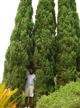 Ali'i Kula Lavender Farm: olive trees