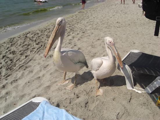 Pavlo Napa Beach Hotel: Pelicans on Nissi Beach.