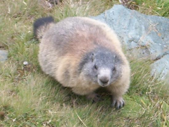 Hotel St. Georg : Wild Marmott