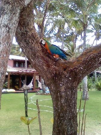 Trancoso, BA: pappagallo