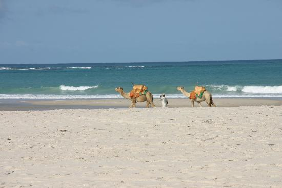 Alfajiri Villas : Camels on the beach