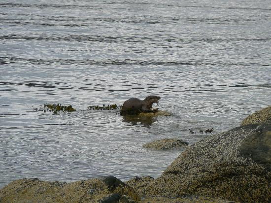 Discover Mull Tours: Otter showing off his fishing skills