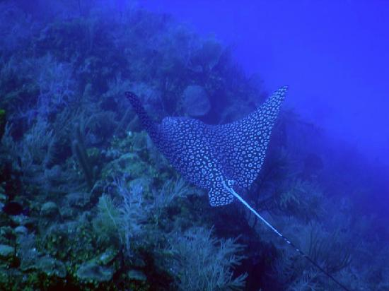 Thatch Caye Resort: one of the many spotted eagle rays we saw