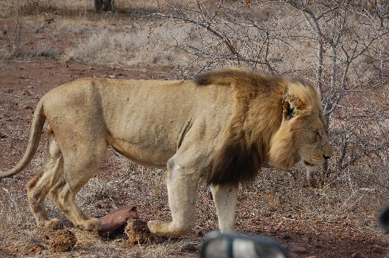 Singita Lebombo Lodge: One of the Lions, note the wing mirror in th bottom of the picture