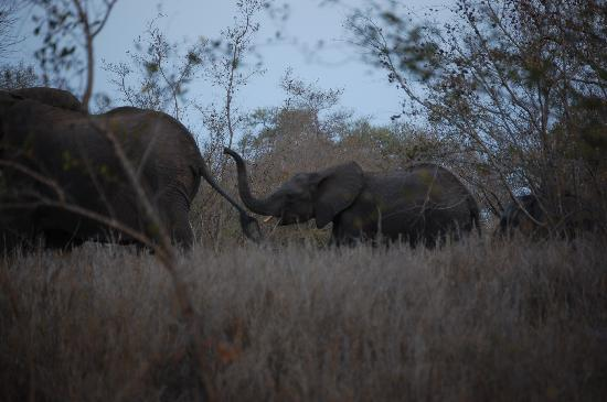 Singita Lebombo Lodge: Elephants!