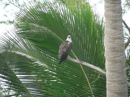 Matecumbe Resort: Osprey in the trees