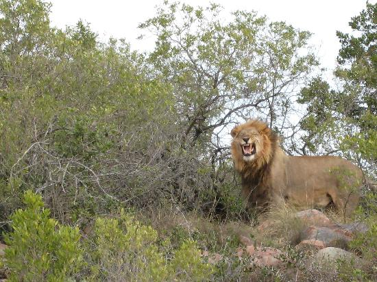 Shamwari Game Reserve Lodges: Lion