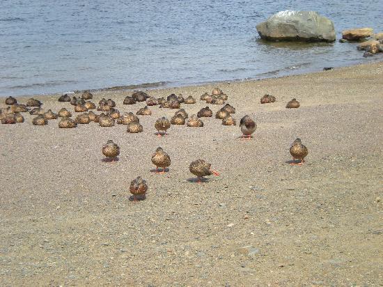 Gunflint Pines Resort & Campgrounds : the ducks at the gunflint lodge (next door property)