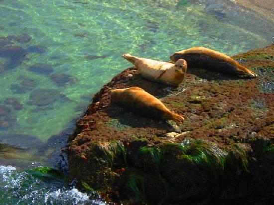 Osteria Romantica: Seals at La Jolla cove