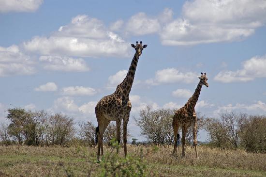 Kicheche Mara Camp: Giraffe