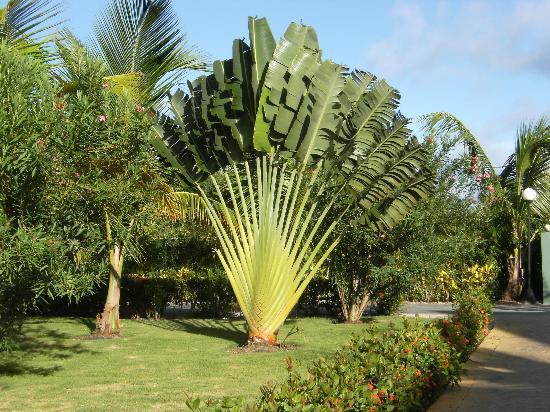 palmier sorte
