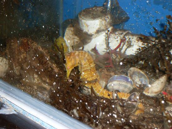 Cet-Mar Aquarium: caballito de mar