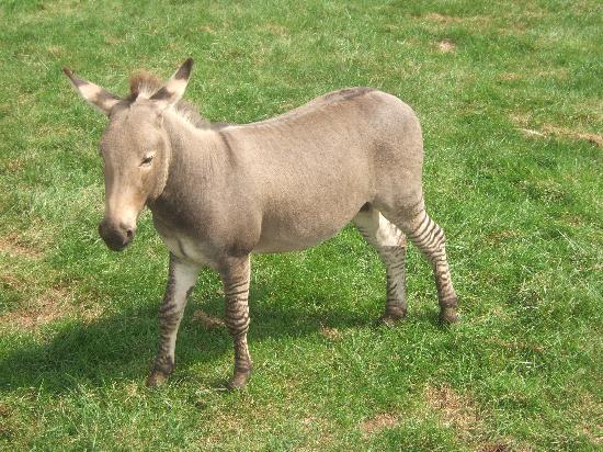 Lake Tobias Wildlife Park: Zebra + Mule = this animal