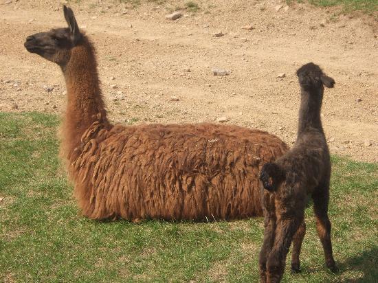 Lake Tobias Wildlife Park: Mama and 9 day old llama