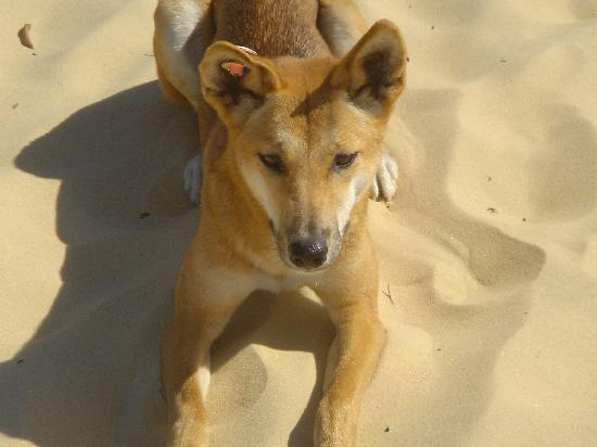 La Mer Beachfront Luxury Apartments : Dingo at Fraser Island