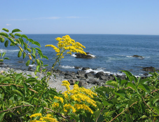 Ogunquit, ME: Goldenrod and blue seas