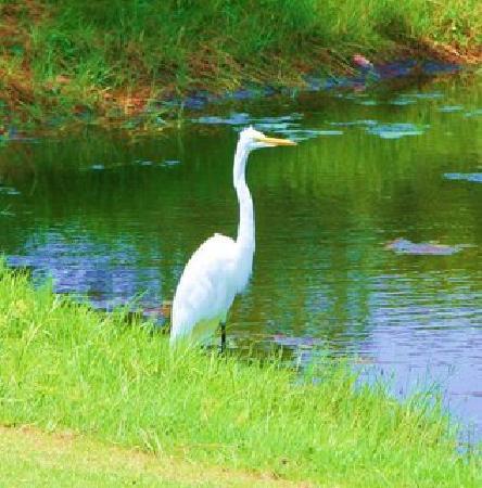Sea Scape Links Golf Course: Bird alongside a little pond.