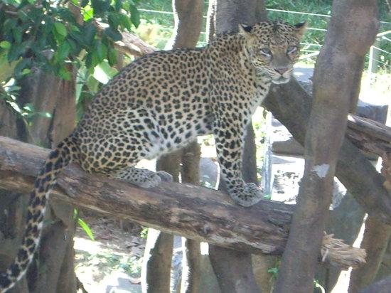 Bali Safari & Marine Park: leopard