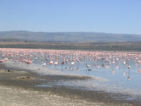 Lake Nakuru National Park, Kenya: Flamingos