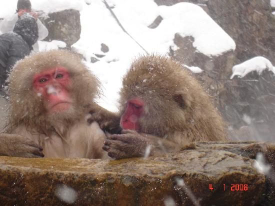Préfecture de Nagano, Japon : snow monkeys in hakuba japan